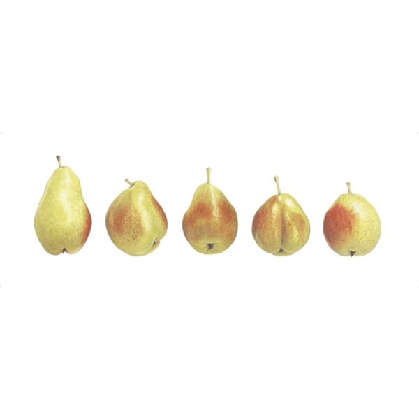 Ann Swan - 5 Pears