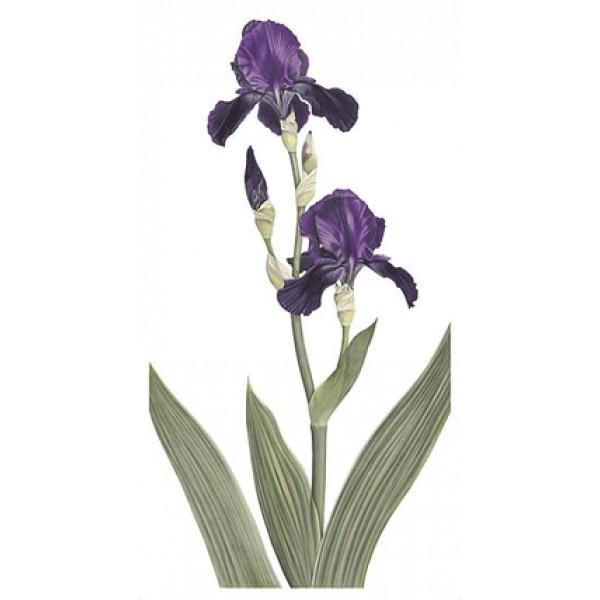 Ann Swan - Dark Purple Bearded Iris