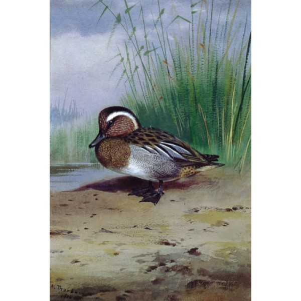 Archibald Thorburn - A Garganey