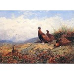 Archibald Thorburn - A Group of Red Grouse