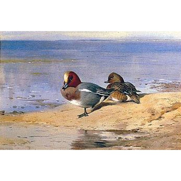 Archibald Thorburn - A Pair of Wigeon