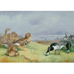 Archibald Thorburn - Barnacle Geese