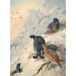Archibald Thorburn - Cock and Hen Black Grouse
