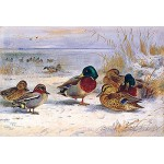 Archibald Thorburn - Ducks in Winter