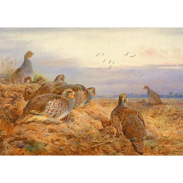 Archibald Thorburn - English Partridges