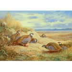 Archibald Thorburn - French Partridges