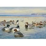 Archibald Thorburn - Goldeneye and Longtail
