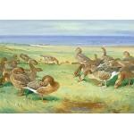 Archibald Thorburn - Greylag Geese