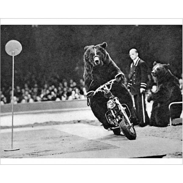 Bear ridingamotorcycleat the Bertram Mills Circus Framed Print
