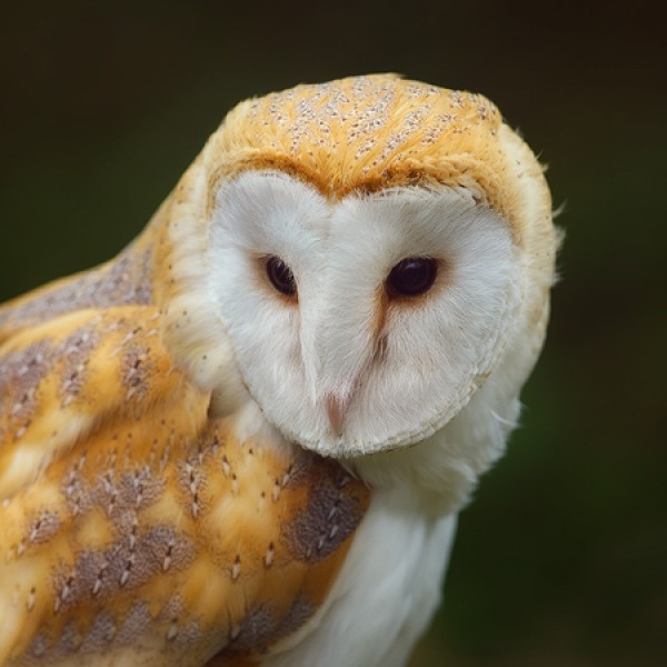 Peter Rhoades - Barn Owl I
