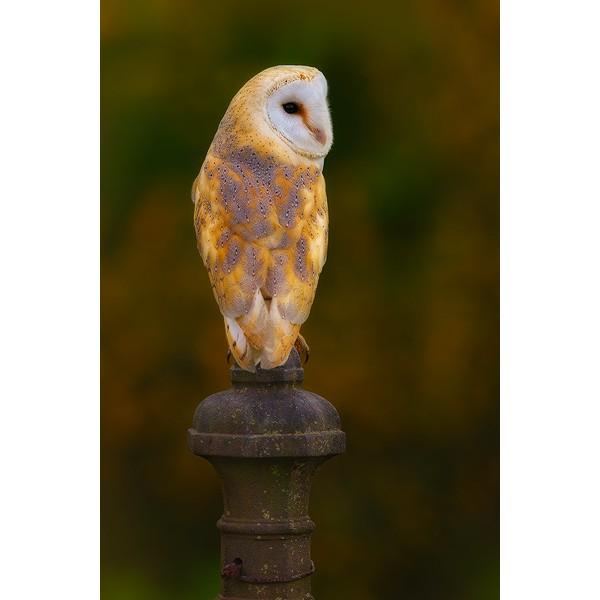Peter Rhoades - Barn Owl III