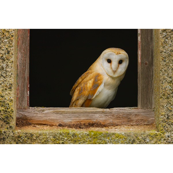 Peter Rhoades - Barn Owl II