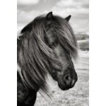 Peter Rhoades - Dartmoor Pony