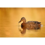 Peter Rhoades - Female Mallard