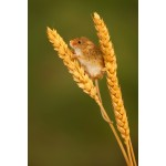 Peter Rhoades - Harvest Mouse