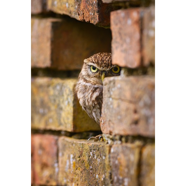 Peter Rhoades - Little Owl