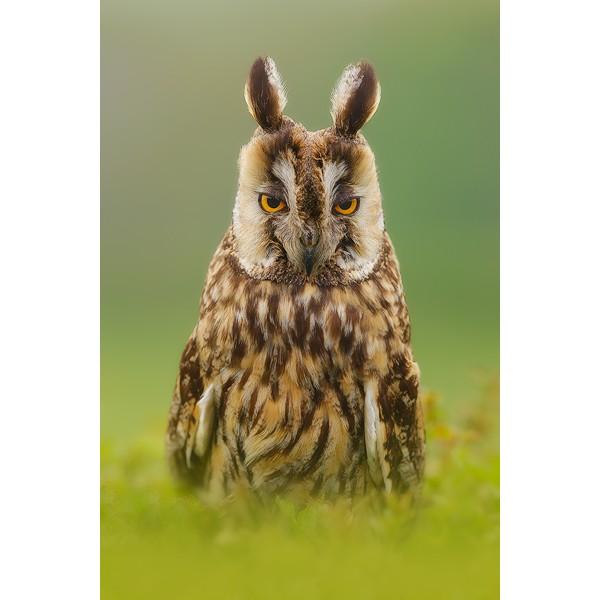 Peter Rhoades - Long Eared Owl II