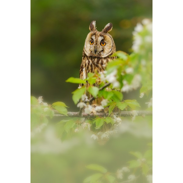 Peter Rhoades - Long Eared Owl I