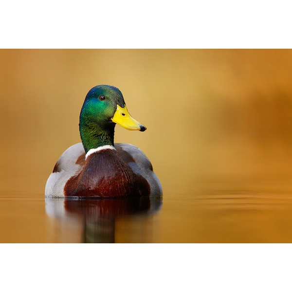 Peter Rhoades - Male Mallard