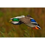 Peter Rhoades - Mallard (Small)