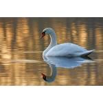 Peter Rhoades - Mute Swan