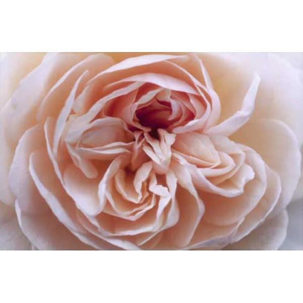 Sally Stanes - English Rose